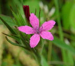 Dianthus_armeria_flower260